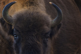 Buffalos (Nature Picture Library)
