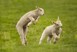 Sheep (Nature Picture Library)