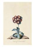 Botanical Print of Garden Auricula