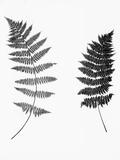 Photographic Study Of Fern Leaves Papier Photo par Bettmann