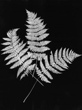 Photographic Study Of Fern Leaves