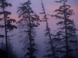 Morning Fog Shrouds Silhouetted Evergreen Trees