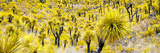 ¡Viva Mexico! Panoramic Collection - Yellow Joshua Trees