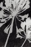 Allium Shade