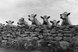 Over Herd