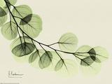 Sage Eucalyptus Leaves II Reproduction d'art par Albert Koetsier
