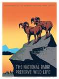 The National Parks Preserve Wild Life - Bighorn Sheep