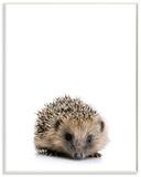 Baby Hedgehog Studio Photo