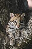 Rf- Ocelot (Felis Pardalis) Head Portrait Of Captive Female Resting