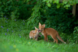 Red Fox (Vulpes Vulpes) Two Cubs Playfighting On The Fringes Of A Field  Derbyshire  UK