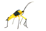 Leaf-Footed Bug (Coreidae) Iwokrama  Guyana MeetyourneighboursNet Project