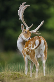 Fallow Deer (Dama Dama) Buck Grooming  Antlers In Velvet North Island  New Zealand