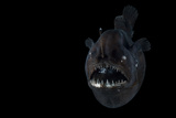 Angler Fish (Melanocetus Murrayi) Mid-Atlantic Ridge  North Atlantic Ocean