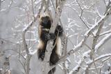 Wolverine (Gulo Gulo) Climbing Tree