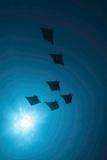 Devil Rays (Mobula Japonica) Viewed From Below, South Ari Atoll, Maldives Papier Photo par Michael Pitts