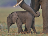 African Elephant (Loxodonta Africana) Cow Reassuring Young Calf With Trunk  Chobe River  Botswana