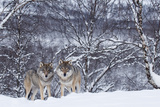 Two European Grey Wolves (Canis Lupus) In Woodland, Captive, Norway, February Papier Photo par Edwin Giesbers
