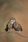 Little Owl (Athene Noctua) Pair Perched  Courtship Behaviour  Spain