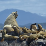 Steller Sea Lion (Eumetopias Jubatus) Male And Female With Colony  British Columbia  Canada  June