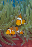 Rf- Western Clownfish (Amphiprion Oceallaris) In Magnificent Sea Anemone (Heteractis Magnifica)