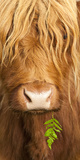 Head Portrait Of Highland Cow  Scotland  With Tiny Frond Of Bracken At Corner Of Mouth  UK