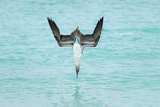 Blue-Footed Booby (Sula Nebouxii) Plunge-Diving At High Speed  San Cristobal Island  Galapagos