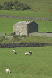 Yorkshire Dales Barn With Dry Stone Walls And Sheep  UK