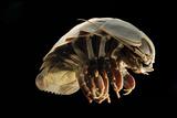 Giant Deepsea Isopod (Bathynomus Giganteus) Specimen From The South Atlantic Ocean