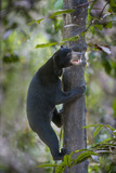 Bornean Sun Bear (Helarctos Malayanus Euryspilus) Climbing Tree At Conservation Centre