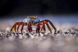 Sally Lightfoot Crab (Grapsus Grapsus) On Beach  Isabela Island  Galapagos  Ecuador May