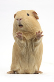 Yellow Guinea Pig Standing Up And Squeaking, Against White Background Papier Photo par Mark Taylor