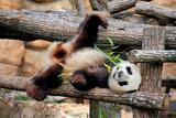 Giant Panda (Ailuropoda Melanoleuca) Lying On Climbing Frame Eating Bamboo