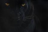 Close Up Head Portrait Of Melanistic - Black Leopard (Panthera Pardus) Captive Papier Photo par Edwin Giesbers