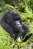 Mountain Gorilla (Gorilla Gorilla Beringei) Mother Holding Baby Twins Age Five Months