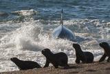 Orca (Orcinus Orca) Hunting Sea Lion Pups, Peninsula Valdez, Patagonia Argentina Papier Photo par Gabriel Rojo