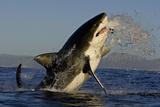 Great White Shark (Carcharodon Carcharias) Breaching Whilst Attacking Seal Decoy Papier Photo par Chris & Monique Fallows