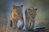 Two African Lion (Panthera Leo) Cubs Walking On A Path Okavango Delta  Botswana