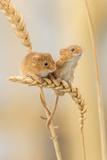 Harvest Mice (Micromys Minutus) On Wheat Stems  Devon  UK