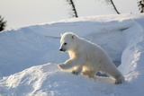Polar Bear Cub 3 Months (Ursus Maritimus) Playing In The Front Of The Day Den In March