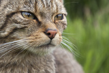 Scottish Wildcat (Felis Sylvestris)  Captive  UK  June