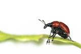 Oak Leaf Roller Beetle (Attelabus Nitens) Rolling Leaf  Gohrde  Germany  May (Sequence 1-7)
