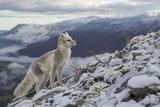 Arctic Fox (Alopex - Vulpes Lagopus) Standing On Ridge Papier Photo par Andy Trowbridge