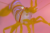 A Portrait Of A Small Candy Stripe Shrimp (Lebbeus Grandimanus)
