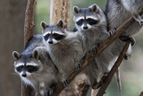 Northern Raccoon (Procyon Lotor)  Group Standing On Branch  Captive