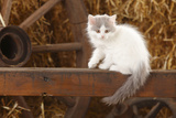 British Longhair  Kitten With Blue-Van Colouration Age 10 Weeks In Barn With Straw
