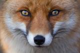 Red Fox (Vulpes Vulpes) Captive Portrait Papier Photo par Edwin Giesbers