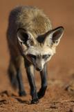 Bat-Eared Fox (Otocyon Megalotis) Walking, Namib-Naukluft National Park, Namib Desert, Namibia Papier Photo par Solvin Zankl