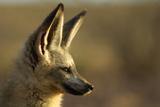 Bat-Eared Fox (Otocyon Megalotis) Portrait  Namib-Naukluft National Park  Namib Desert  Namibia