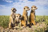 Meerkat (Suricata Suricatta) Group Of Babies, Makgadikgadi Pans, Botswana Papier Photo par Will Burrard-Lucas