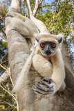 Golden-Crowned Sifaka Or Tattersall'S Sifaka (Propithecus Tattersalli) Climbing Down Tree